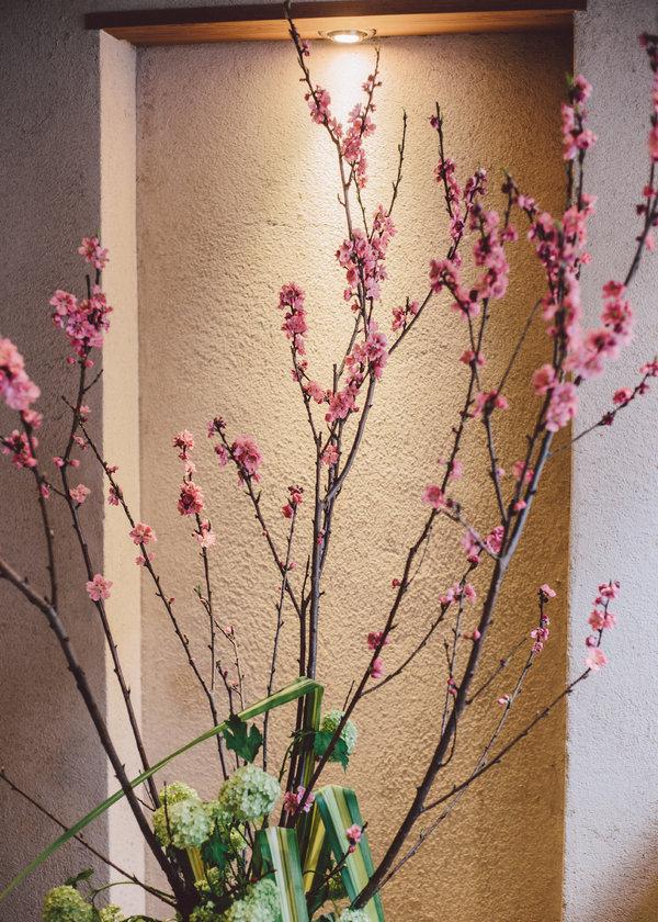 绽放的樱花。