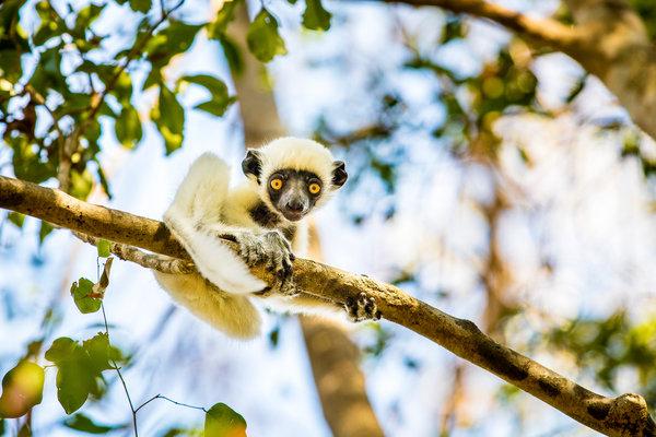 这种德肯狐猴生活在马达加斯加西部干燥的落叶林内。