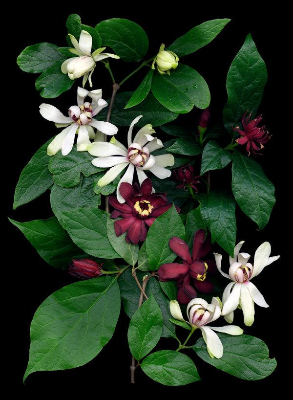 对香味的诠释因人而异。图中的暗红色花朵是美国夏腊梅,这种土生土长的灌木也叫卡罗莱纳甜灌木。当德鲁士让访客形容花香时,得到的答案包括泡泡糖、草莓和油漆稀释剂。