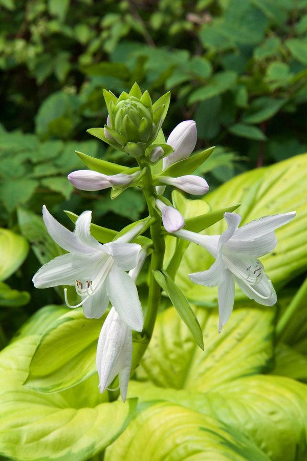 """玉簪的花是白色的,香气浓郁,被用来培育许多有芳香的品种,包括玉簪""""彩绘玻璃""""。"""