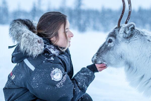 瑞典拉普兰的驯鹿是半驯化的。 它们通常与人保持距离,但在冬天,人们有时会向它们提供食物,尤其是现在,气候变化和森林砍伐正在减少自然界中可用食物数量的情况下。如果得到它们的主人萨米人的允许,你可能会和它们有一些奇妙的近距离接触。